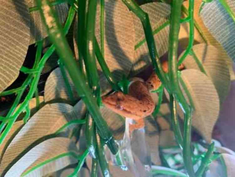 Mourning gecko with medium vivarium for sale